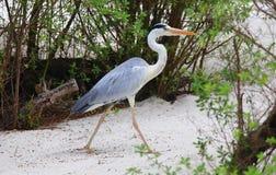 在沙子的马尔代夫灰色苍鹭特写镜头 图库摄影