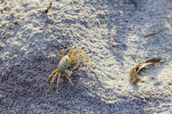 在沙子的鬼魂螃蟹 库存图片