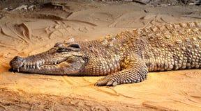 在沙子的鳄鱼 免版税库存图片