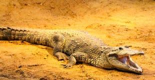 在沙子的鳄鱼 图库摄影
