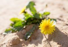 在沙子的黄色蒲公英在自然 免版税库存照片