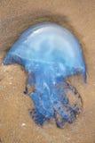 在沙子的水母 库存图片