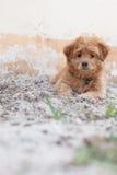 在沙子的滑稽的小狗 库存照片