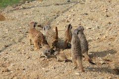 在沙子的Meerkats家庭 免版税库存照片