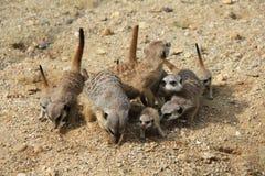 在沙子的Meerkats家庭 库存照片