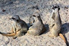 在沙子的Meerkats 库存照片