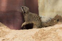 在沙子的Meerkats 图库摄影