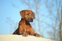 在沙子的Rhodesian Ridgeback狗 库存图片