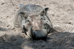 在沙子的Warthog 免版税图库摄影