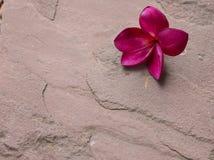 在沙子石头的红色羽毛花 库存照片