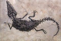 在沙子石头背景的恐龙化石 免版税图库摄影