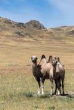 在沙子背景的两头骆驼,干草原 库存照片