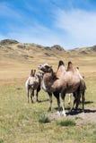 在沙子背景的两头骆驼,干草原 库存图片