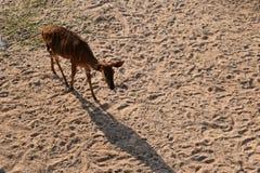 在沙子边的野生生物鹿 库存图片