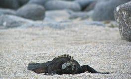 在沙子延长的鬣鳞蜥 免版税图库摄影
