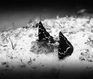 在沙子bokeh backgro的水平的两只黑白蝴蝶 图库摄影