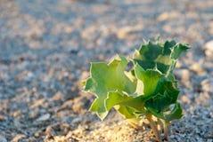 在沙子bureg海海滩自然保护背景的绿色植被草  图库摄影