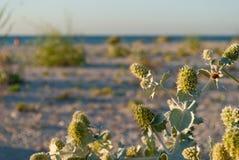 在沙子bureg海海滩自然保护背景的绿色植被草  库存照片