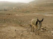 在沙尘暴附近的旱谷Qelt的流浪的驴   库存照片
