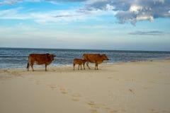 在沙滩的母牛 免版税图库摄影