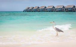 在沙滩的灰色苍鹭 免版税库存照片