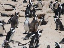 在沙滩的非洲企鹅在开普敦附近 免版税库存图片
