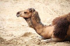 在沙漠动物的骆驼 免版税库存照片