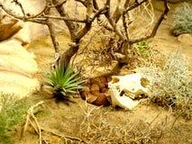 在沙漠威胁头骨和玉米蛇 免版税库存图片