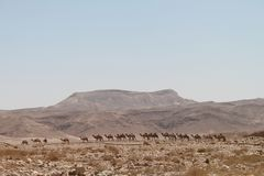 在沙漠山的骆驼行 库存图片
