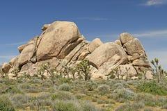 在沙漠岩石附近的约书亚树 免版税库存照片