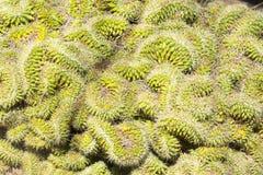 在沙漠植物园的脑子仙人掌 库存照片