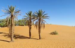 在沙漠沙子的枣椰子树 库存照片