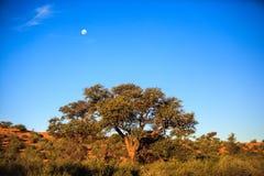 在沙漠灌木的月亮 免版税库存图片