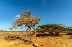 在沙漠烘干扭转的结构树 免版税库存图片