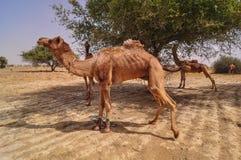 在沙漠的骆驼在Jaisalmer,印度 免版税库存图片