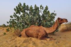 在沙漠的骆驼在Jaisalmer,印度 免版税库存照片
