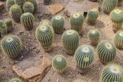 在沙漠的仙人掌多汁植物 库存图片