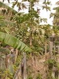在沙漠种植的番木瓜 库存图片