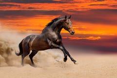 在沙漠跑的海湾马 图库摄影