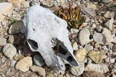 在沙漠题材的母牛头骨 库存照片