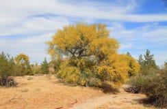 在沙漠洗涤的开花的帕洛弗迪树 免版税库存照片