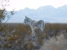 驴在沙漠 免版税库存图片