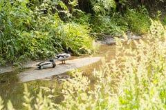 在沙洲的两只鸭子沿小河的银行 图库摄影