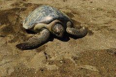 在沙滩的和平的绿浪乌龟 图库摄影