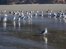 在沙滩的海鸥 免版税图库摄影
