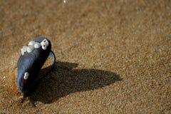 在沙滩的淡菜壳 库存图片