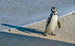 在沙滩的非洲企鹅在日落光 免版税库存照片