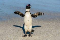 在沙滩的非洲企鹅在日落光 免版税库存图片