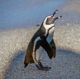 在沙滩的非洲企鹅在日落光 库存图片