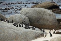 在沙滩的非洲企鹅 库存照片